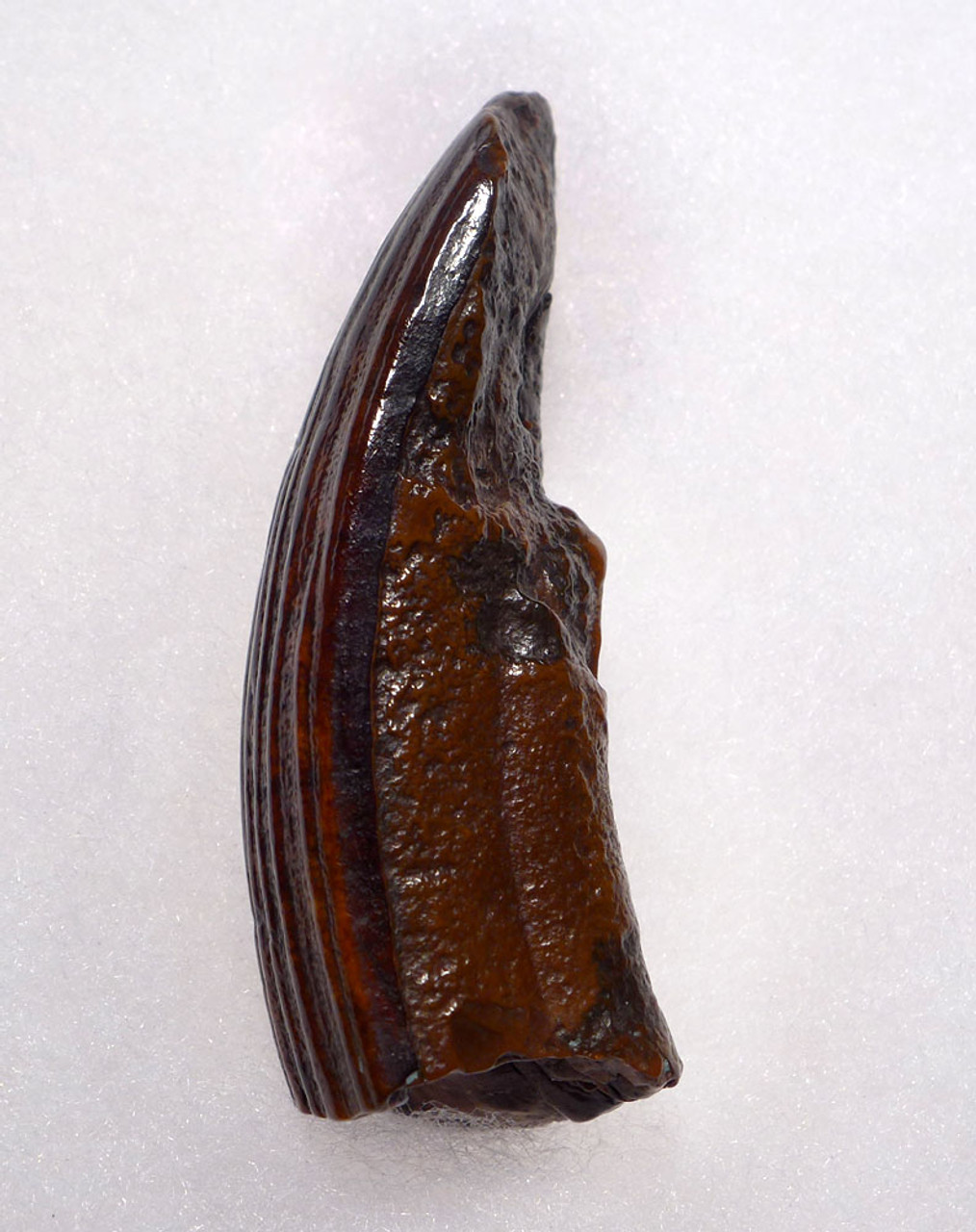 COPPER RED FOSSIL TUSK INCISCOR OF A PREHISTORIC CASTOROIDES GIANT BEAVER  *LMX259
