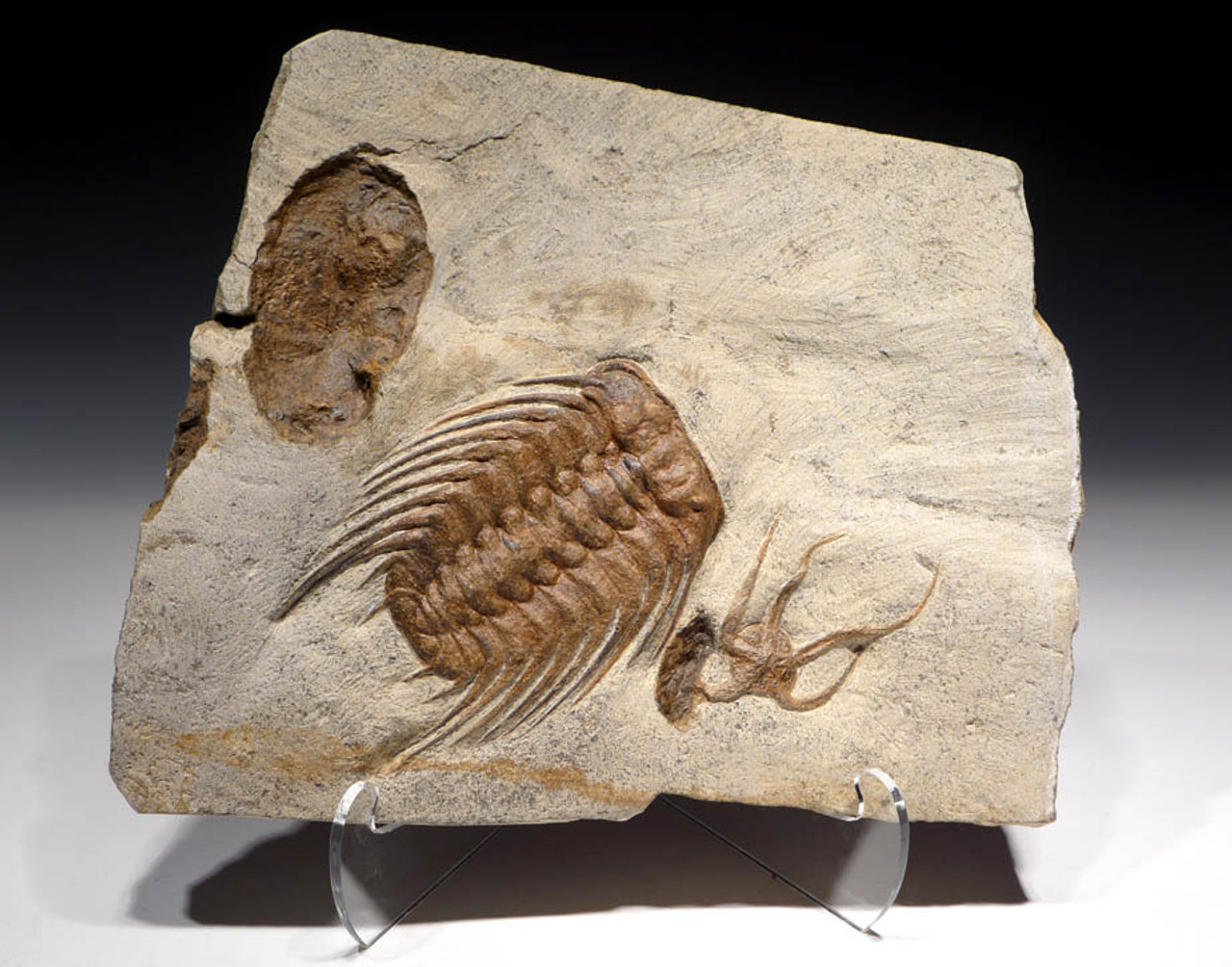 NATURAL ORDOVICIAN OCEAN LIFE FOSSIL WITH LARGE SELENOPELTIS TRILOBITE, STARFISH AND BIVALVE *TRX272