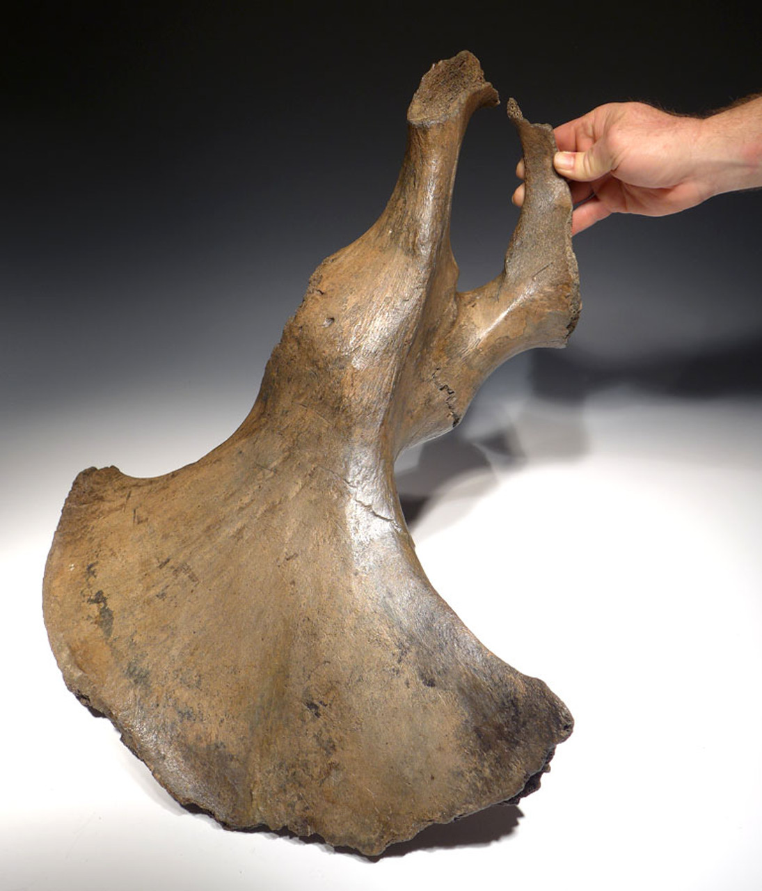 JUVENILE WOOLLY MAMMOTH PELVIS WITH CAVE HYENA PREDATION BITE MARKS *LMX112
