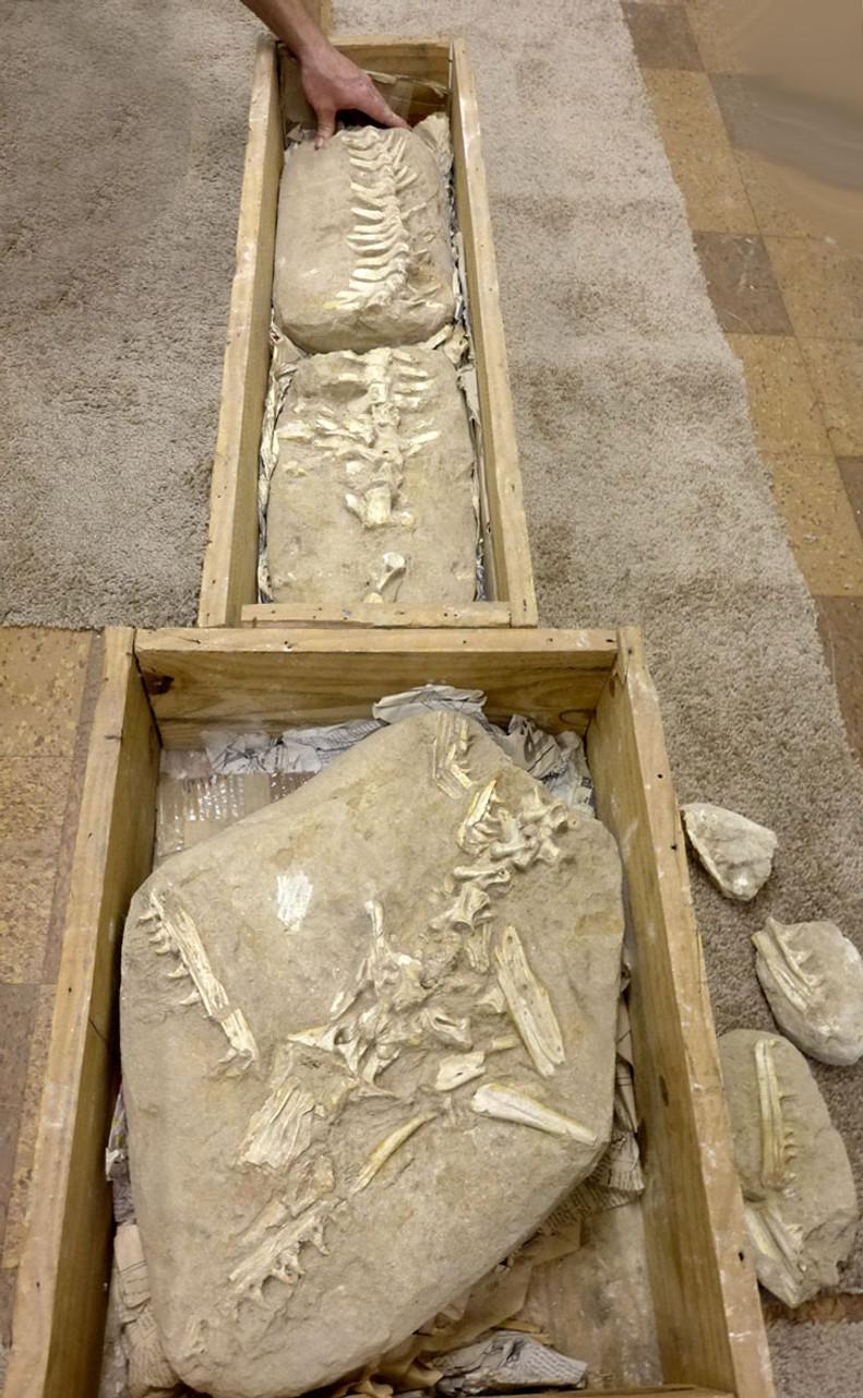 RARE ASSOCIATED HALISAURUS MOSASAUR FOSSIL SKELETON WITH SKULL IN MATRIX -MOSKEL1
