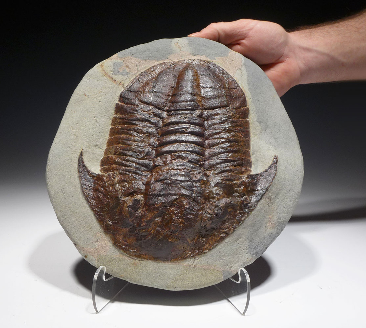 LARGE ASAPHUS TRILOBITE WITH RICH COLOR AND FINE PRESERVATION *TRRD02