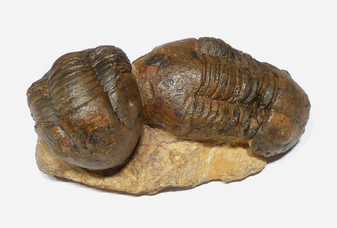 TRX090 - RARE LARGE DOUBLE HOMALONOTID TRILOBITE FOSSIL FROM THE ORDOVICIAN AGE OF NORTH AFRICA