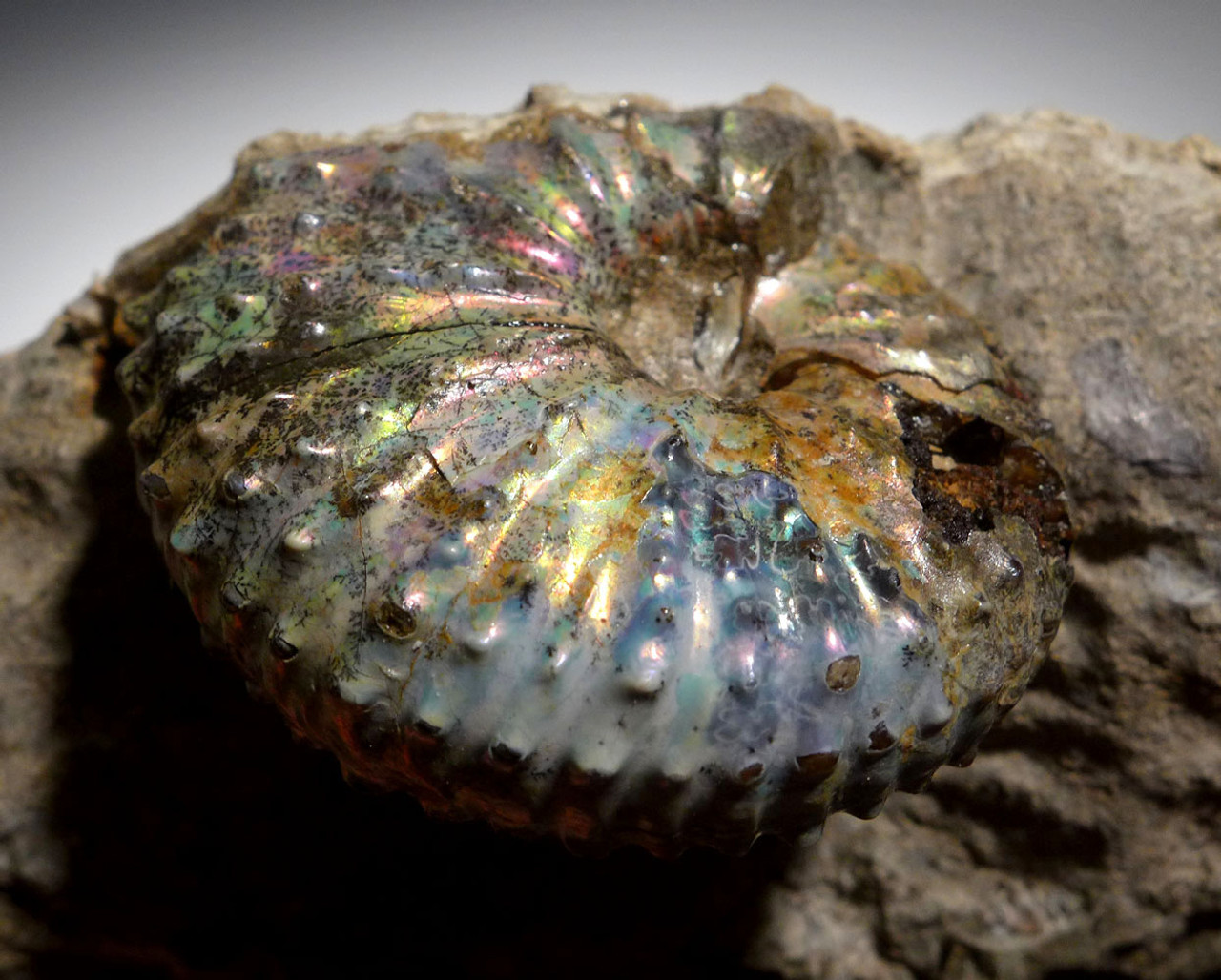 RARE COLORFUL IRIDESCENT AMMONITE DISCOSCAPHITES FOSSIL FROM THE FOX HILLS FORMATION   *AMX402