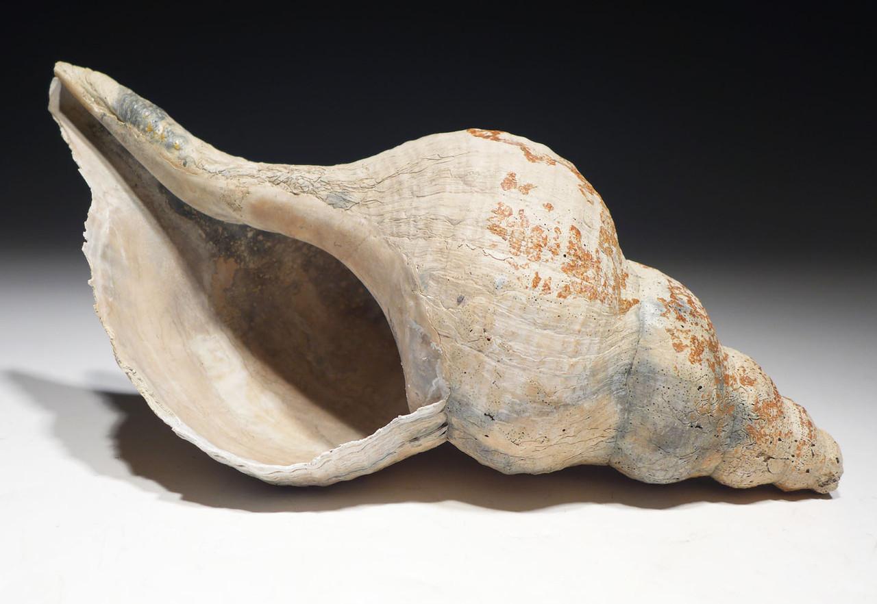 LARGE MEGALODON-ERA FOSSIL SEA SNAIL TRIPLOFUSUS ACMAENSIS GASTROPOD SHELL *GA061
