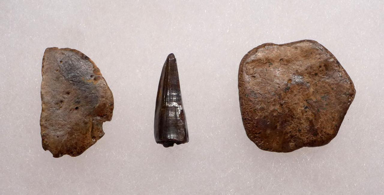 DINOSAUR-ERA LEIDYOSUCHUS CROCODILE TOOTH WITH ARMOR PLATES SCUTES  *CROC044