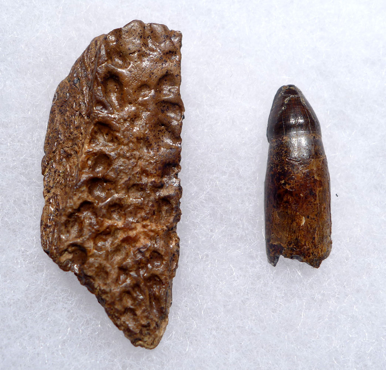 DINOSAUR-ERA FOSSIL LEIDYOSUCHUS CROCODILE TOOTH WITH JAW FRAGMENT FROM HELL CREEK  *CROC083