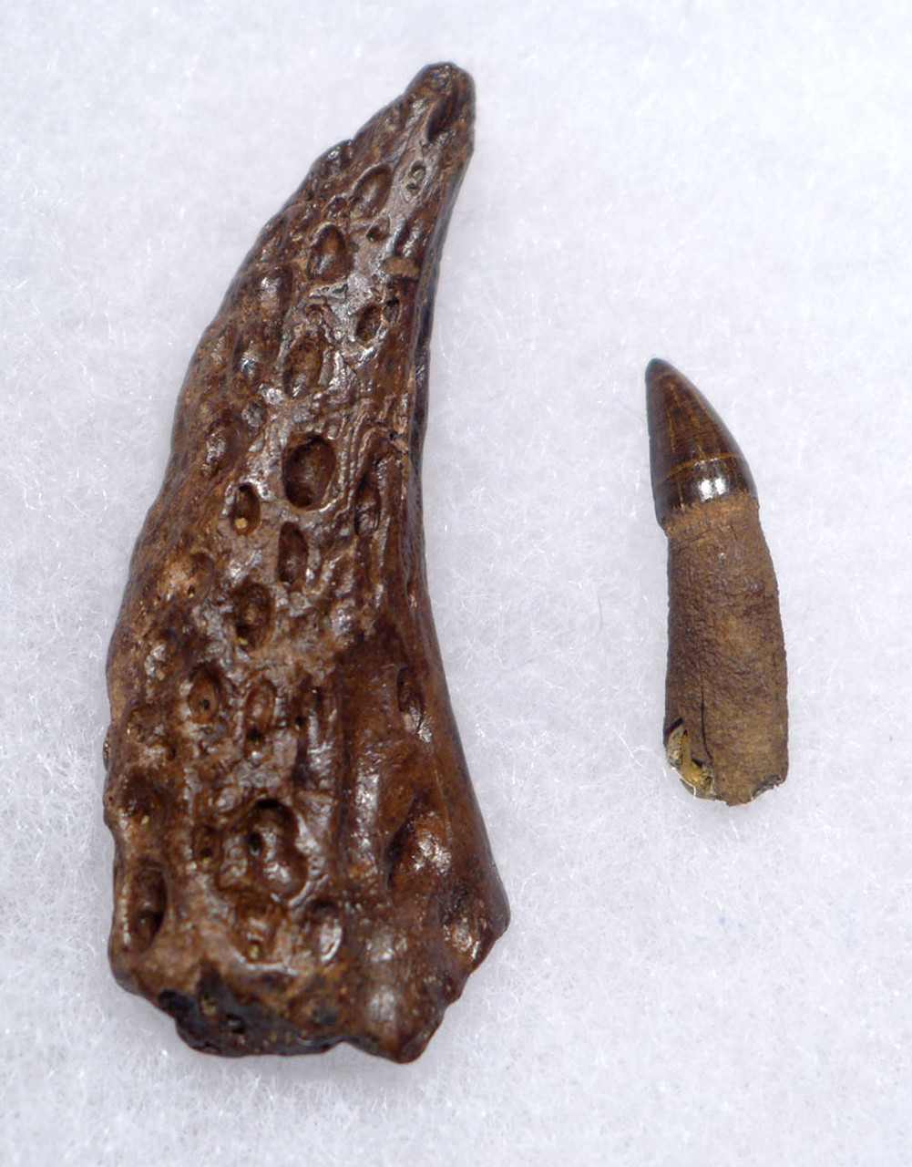 CRETACEOUS FOSSIL LEIDYOSUCHUS CROCODILE TOOTH WITH JAW FRAGMENT FROM HELL CREEK  *CROC082