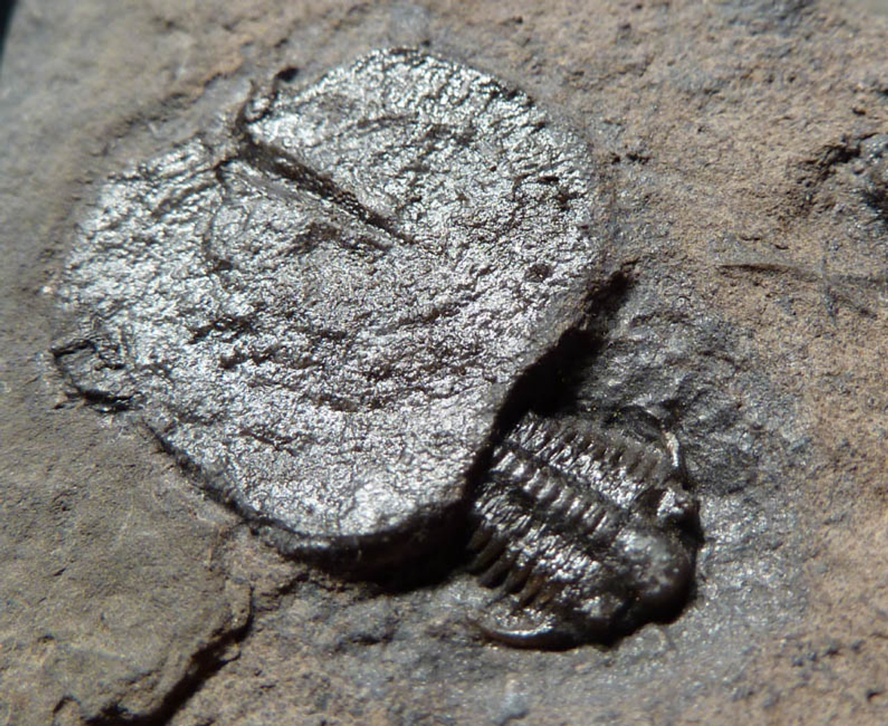 NT003 - ORDOVICIAN CERAURUS TRILOBITE WITH BRYOZOAN COLONY FROM WORLD FAMOUS TYPE SITE IN TRENTON, NEW YORK, USA