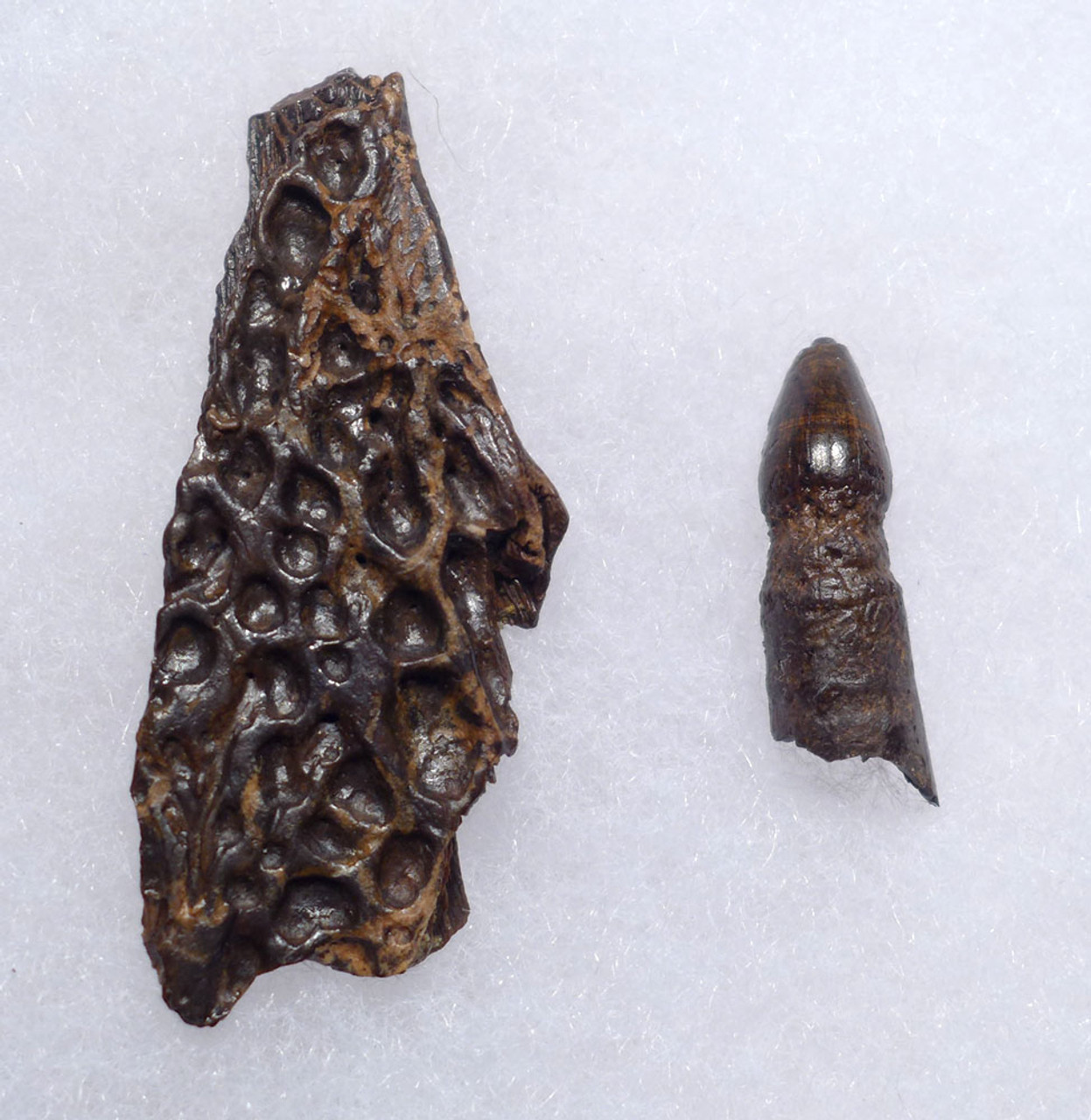 CRETACEOUS LEIDYOSUCHUS CROCODILE FOSSIL TOOTH WITH JAW FRAGMENT FROM HELL CREEK  *CROC084