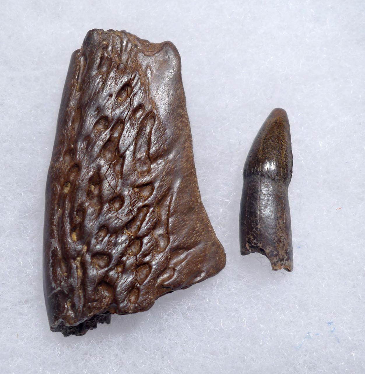 HELL CREEK FORMATION LEIDYOSUCHUS CROCODILE FOSSIL TOOTH WITH JAW FRAGMENT  *CROC081