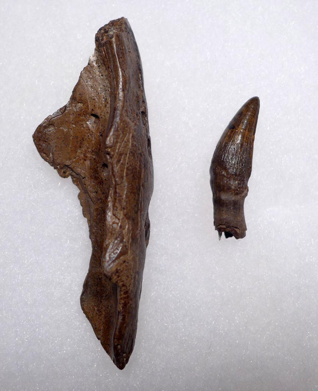 DINOSAUR-ERA FOSSIL LEIDYOSUCHUS CROCODILE TOOTH WITH JAW FRAGMENT FROM HELL CREEK  *CROC086