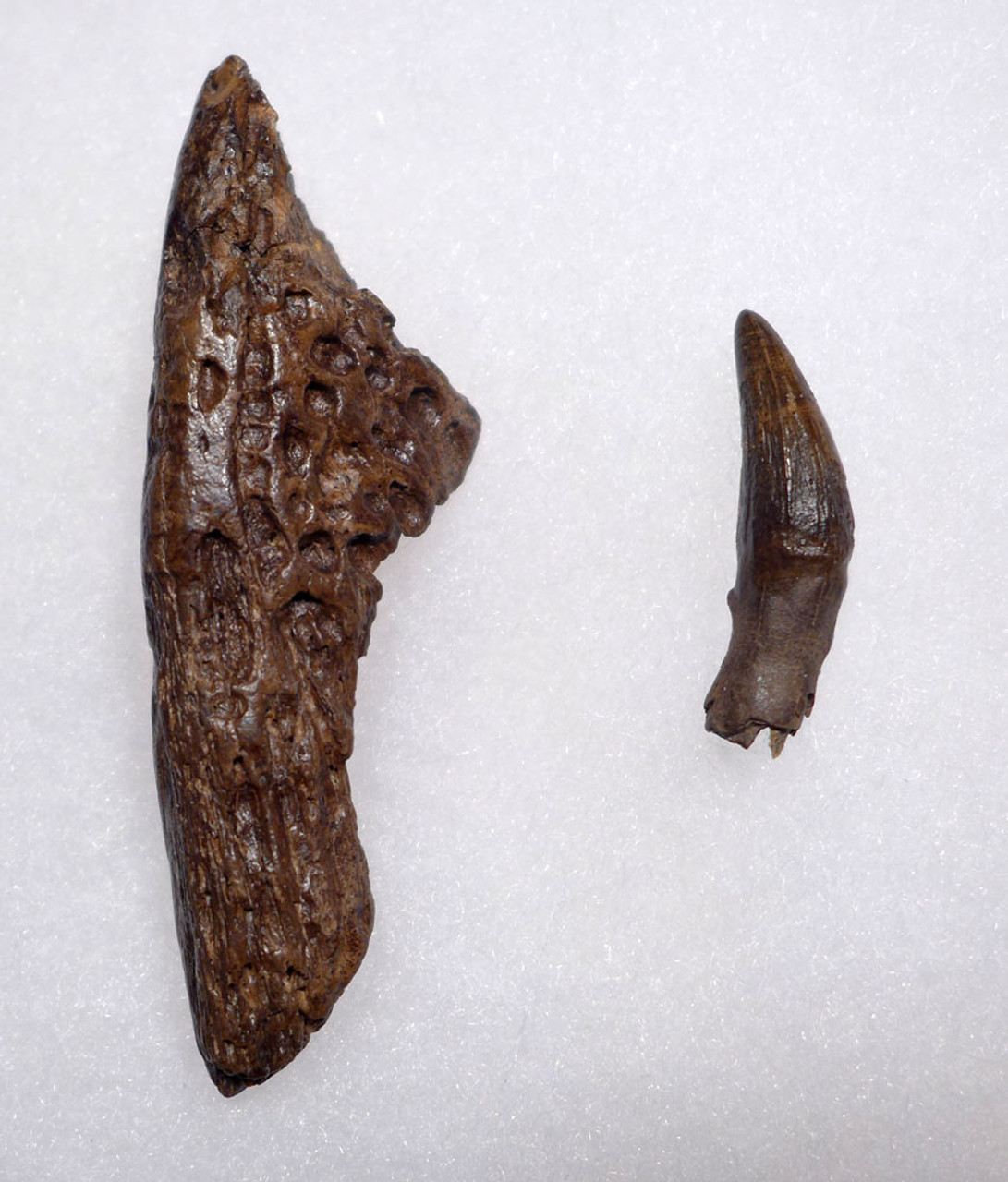 DINOSAUR-ERA FOSSIL LEIDYOSUCHUS CROCODILE TOOTH WITH JAW FRAGMENT FROM HELL CREEK  *CROC086