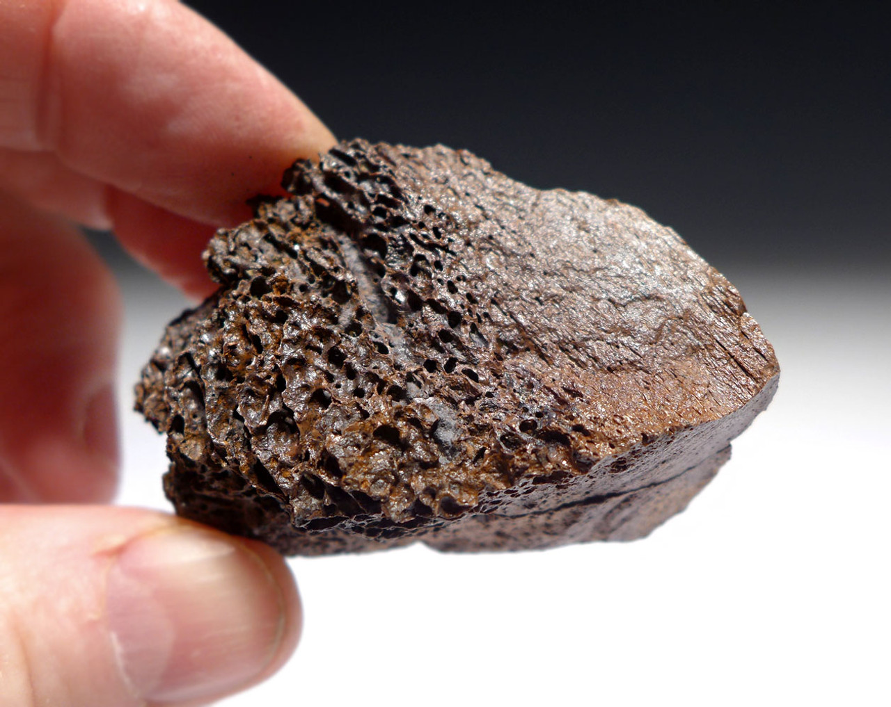 GENUINE TYRANNOSAURUS T REX DINOSAUR BONE FOSSIL FRAGMENT FROM HELL CREEK MONTANA  *DBX046