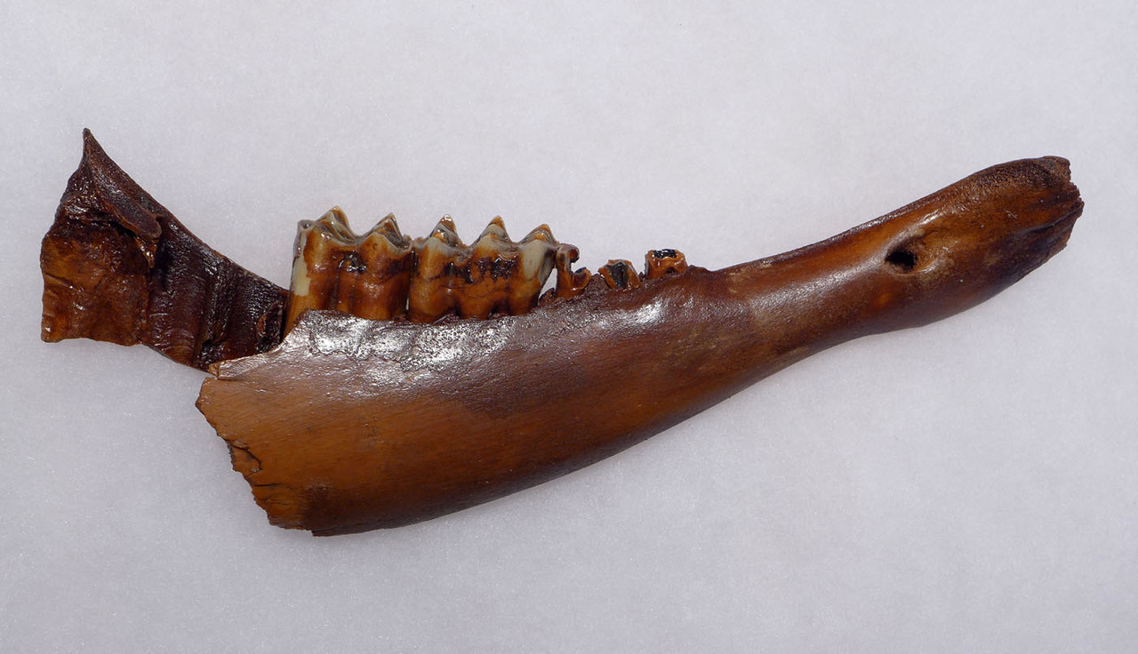 EUROPEAN ICE AGE FOSSIL AUROCHS JAW WITH ORIGINAL TEETH  *LMX271