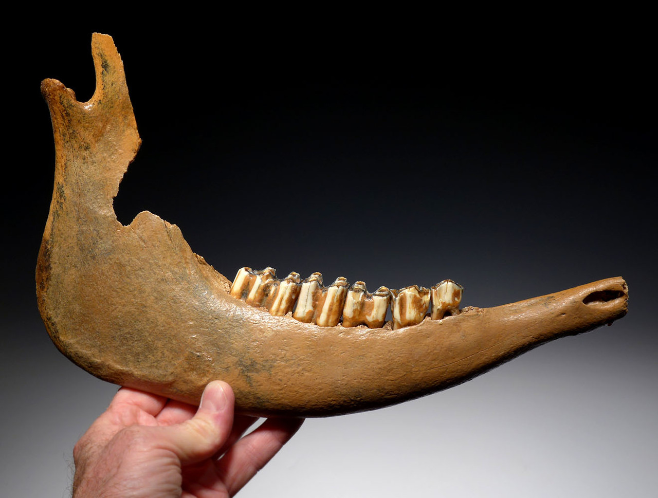 LARGE FOSSIL AUROCHS JAW WITH ORIGINAL MOLARS FROM THE EUROPEAN ICE AGE *LMX270