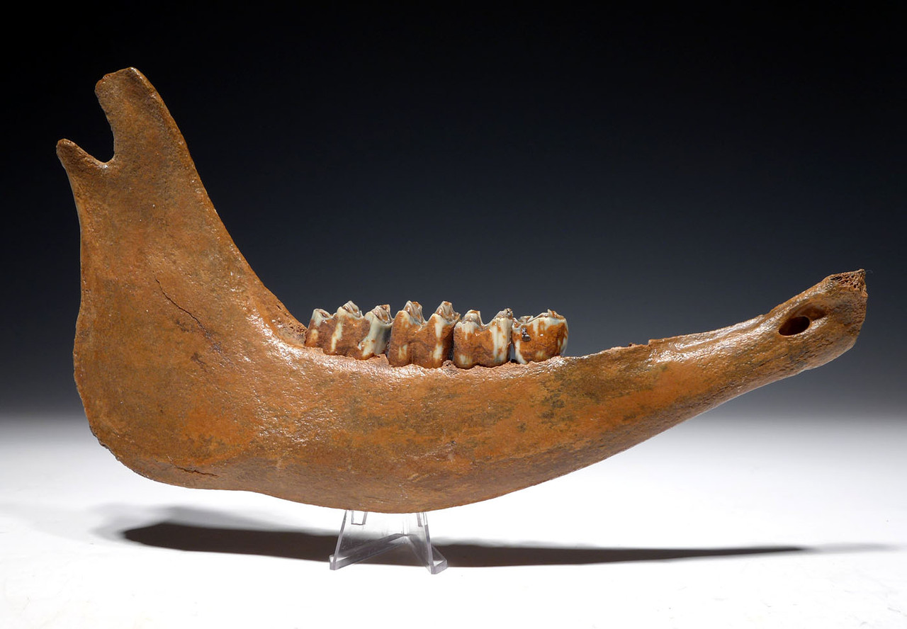 LARGE FOSSIL AUROCHS JAW WITH ORIGINAL MOLARS FROM THE EUROPEAN ICE AGE *LMX269