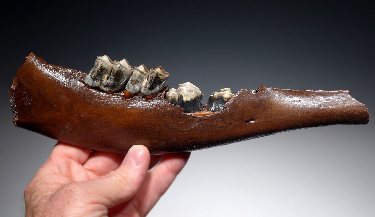 MEGALOCEROS GIANT DEER PARTIAL FOSSIL MANDIBLE JAW WITH TEETH  *LMX264