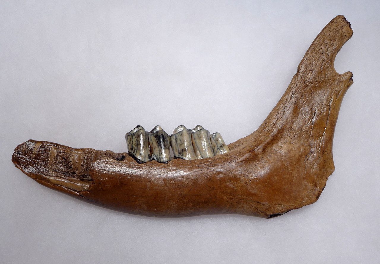 FOSSIL GIANT DEER MEGALOCEROS JAW WITH TEETH FROM A PREHISTORIC IRISH ELK  *LMX266