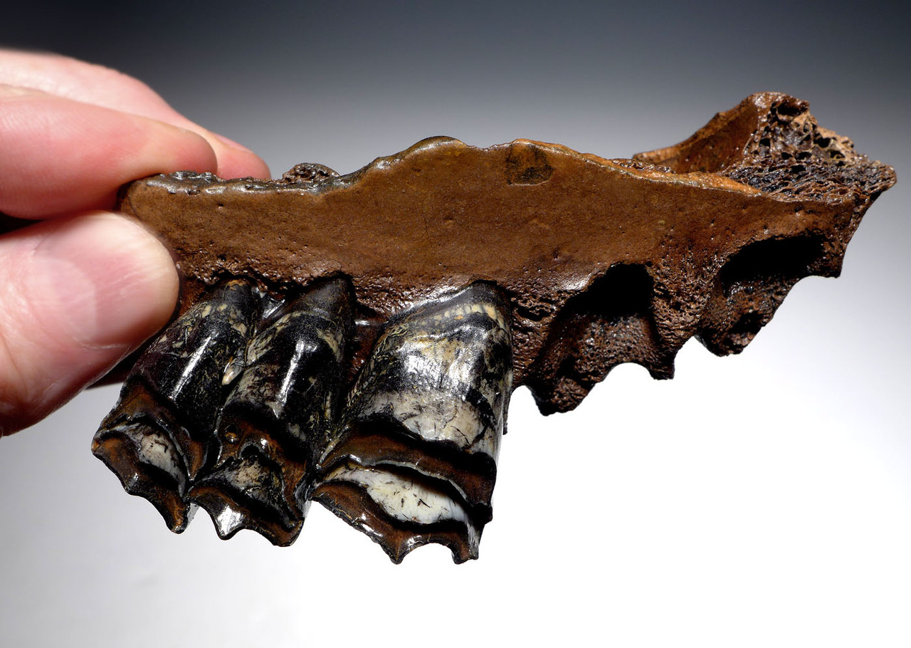 GIANT DEER MEGALOCEROS FOSSIL PARTIAL MAXILLA WITH INCREDIBLY COLORFUL TEETH FROM A PREHISTORIC IRISH ELK  *LMX267