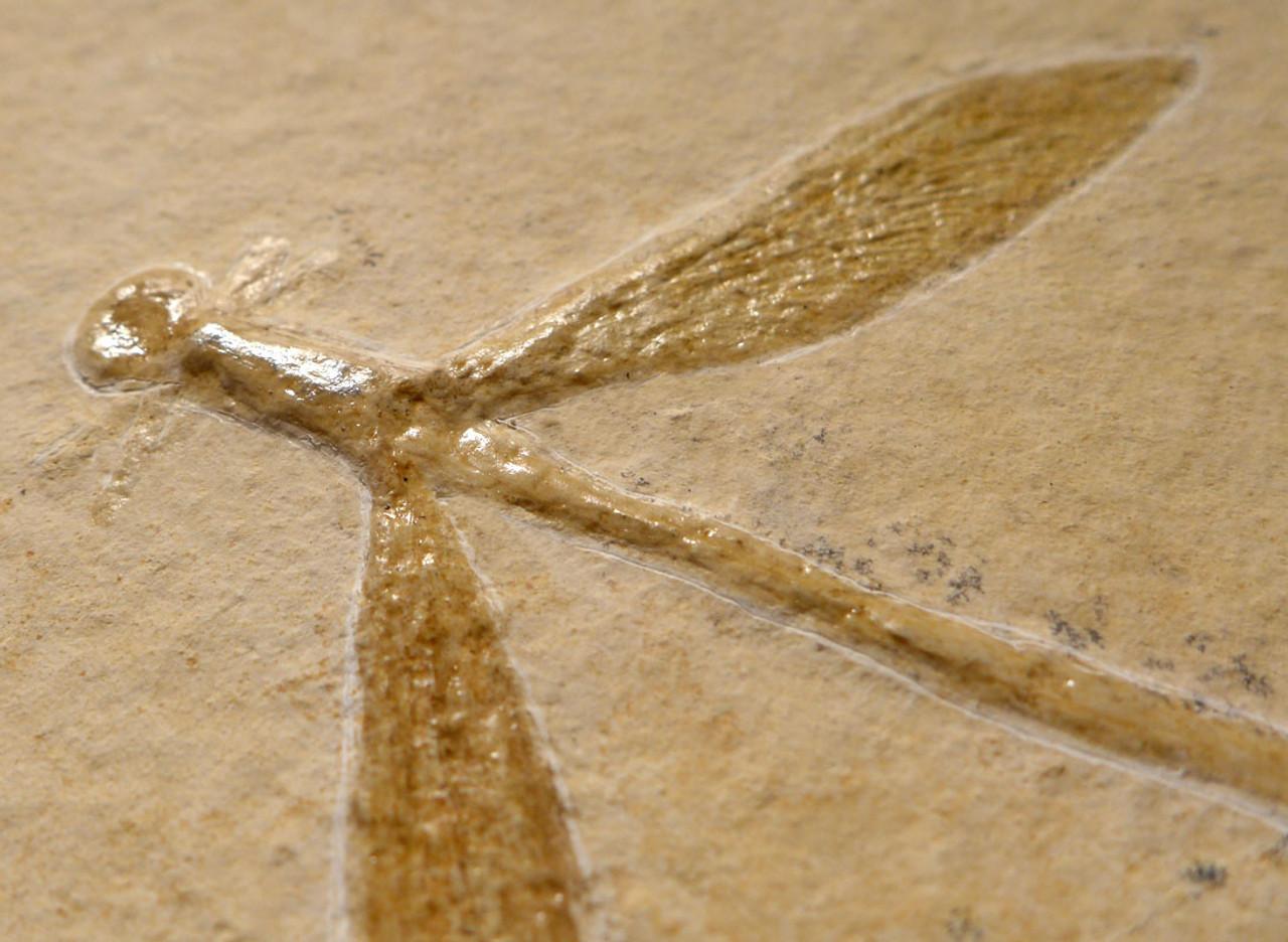 IMPRESSIVE JURASSIC DRAGONFLY FOSSIL FROM SOLNHOFEN ON LARGE UNBROKEN STONE PLATE  *BU018