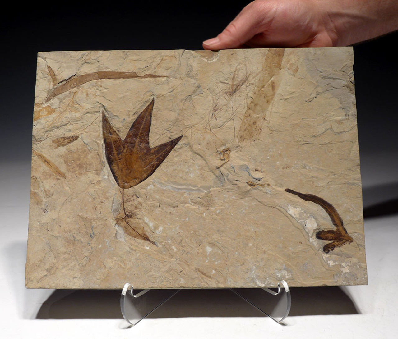 PL084 - SPECTACULAR LARGE FOSSIL SLAB WITH EOCENE FEATHER AND ASSOCIATED LEAF FOSSILS FROM THE GREEN RIVER FORMATION