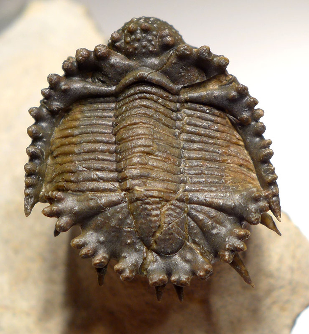 RARE SUPREME QUALITY AKANTHARGES SPINY REEF TRILOBITE *TRZX001