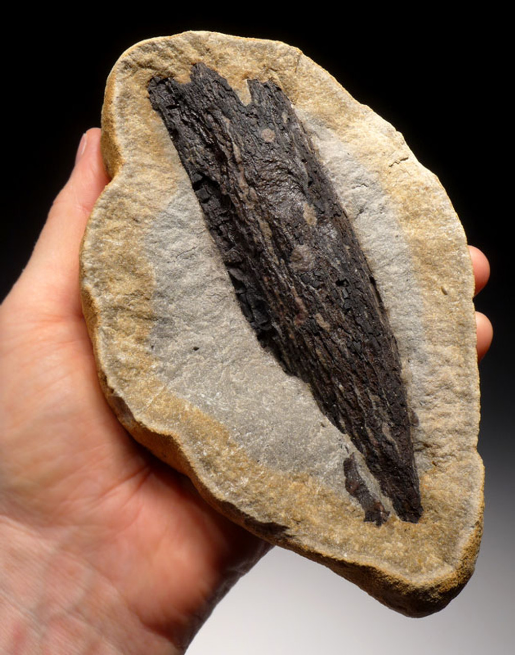 PL091 - RARE SIZE AND COLOR   LARGE FOSSIL WOOD IN CONCRETION FROM THE OLIGOCENE OF BAD KREUZNACH GERMANY
