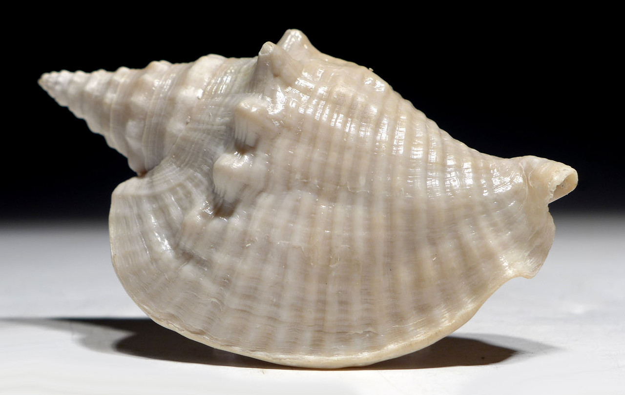 FINEST FOSSIL CONCH SEA SNAIL SHELL FROM A PREHISTORIC STROMBUS GASTROPOD WITH MATRIX INSIDE   *GAP2
