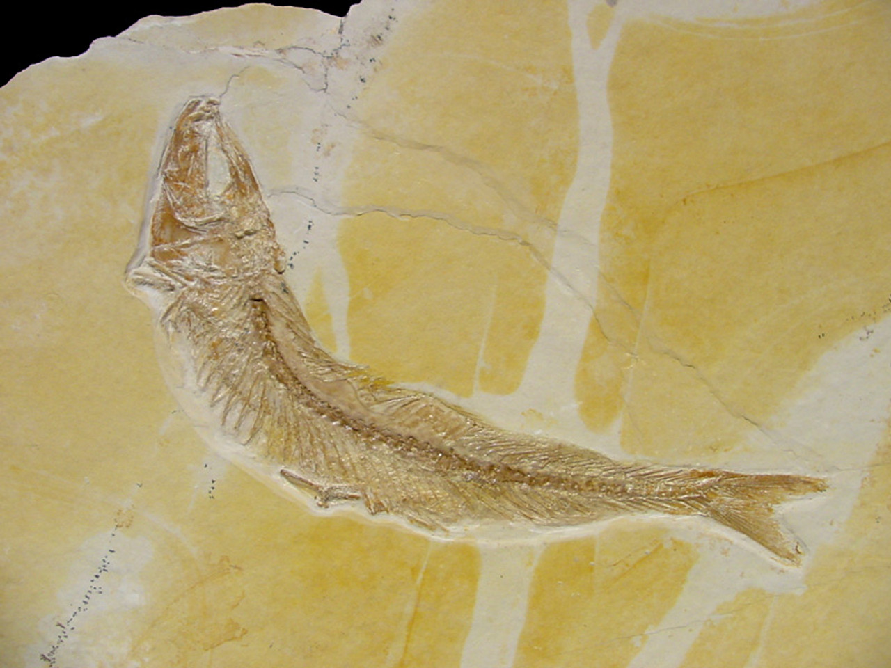 FINEST LARGE THARSIS FISH FOSSIL FROM THE FAMOUS JURASSIC SOLNHOFEN DEPOSITS  *F027