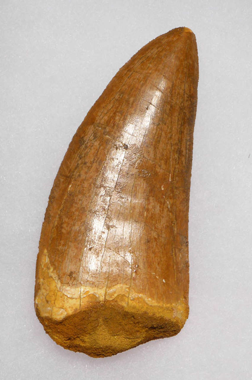 HUGE INVESTMENT-CLASS FOSSIL CARCHARODONTOSAURUS DINOSAUR TOOTH *DT2-079