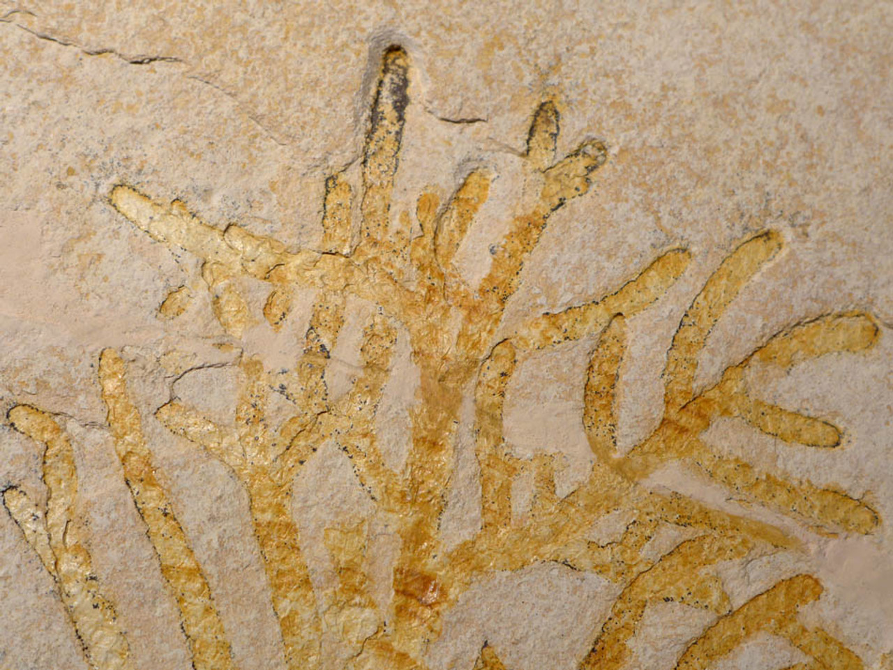 PL071 - LARGE   COMPLETE BRANCH OF A JURASSIC FOSSIL PLANT BRANCH ON LIMESTONE SLAB FROM SOLNHOFEN
