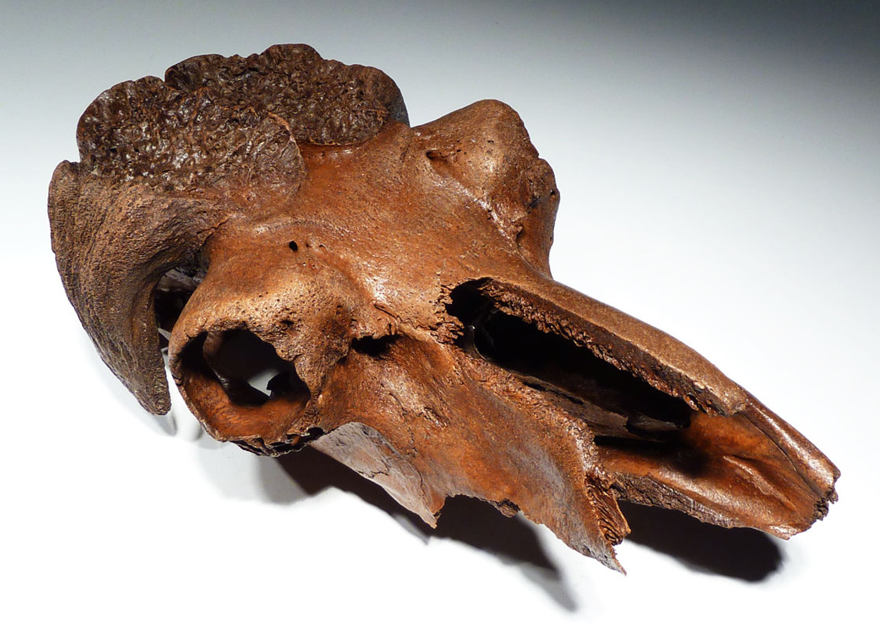 IMMEASURABLY RARE ICE AGE FOSSIL MUSKOX SKULL FROM AN ALASKAN GOLD DREDGE  *LMX179