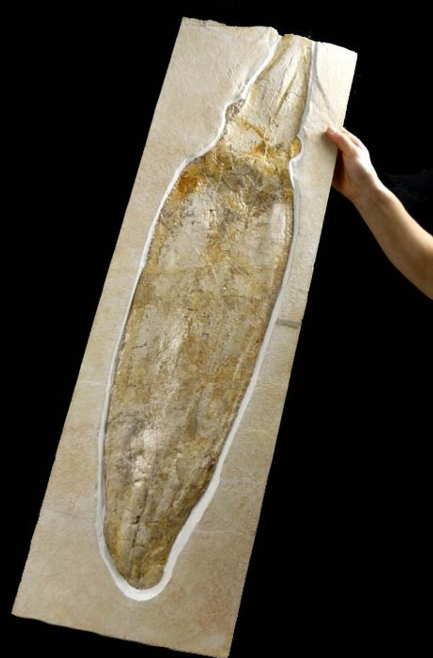RARE GIANT JURASSIC FOSSIL SQUID WITH 3D PRESERVATION  *SQ005