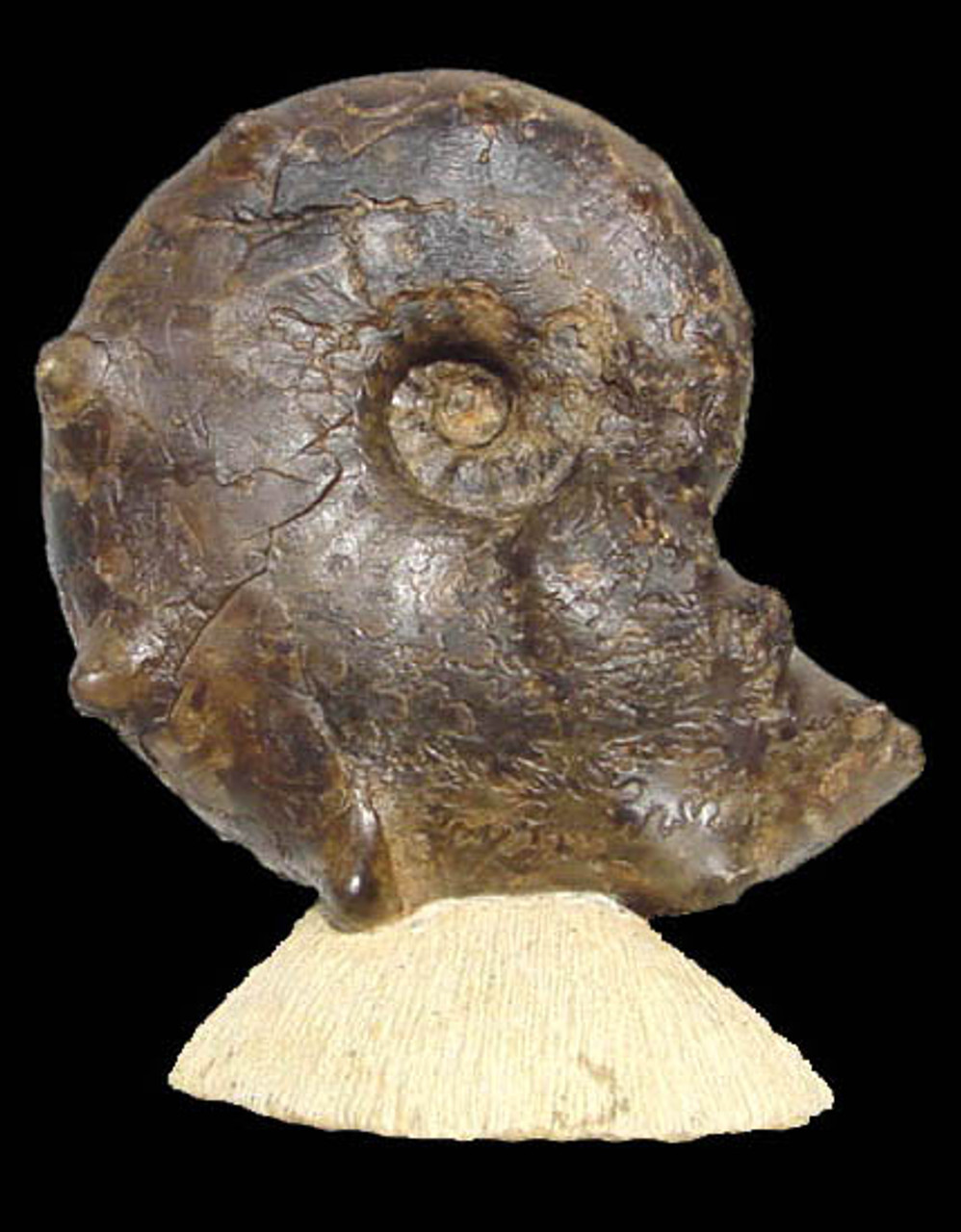 UNIQUE HOUSE-WARMING GIFT FOSSIL AMMONITE SEA LIFE FROM THE DINOSAUR DAYS  *AMX-135