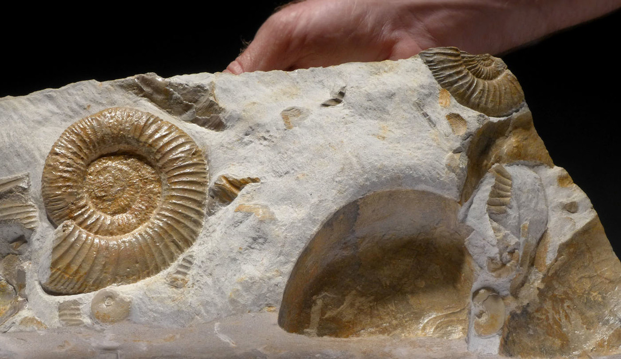 LARGE DOUBLE SIDED AMMONITE JURASSIC SEA LIFE FOSSIL FROM A MASS EXTINCTION EVENT *AMX395