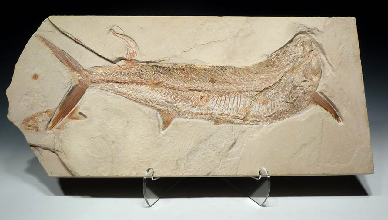 LARGE DINOSAUR-ERA EUBIODECTES BULLDOG FISH FOSSIL WITH RARE PRESERVATION *F093