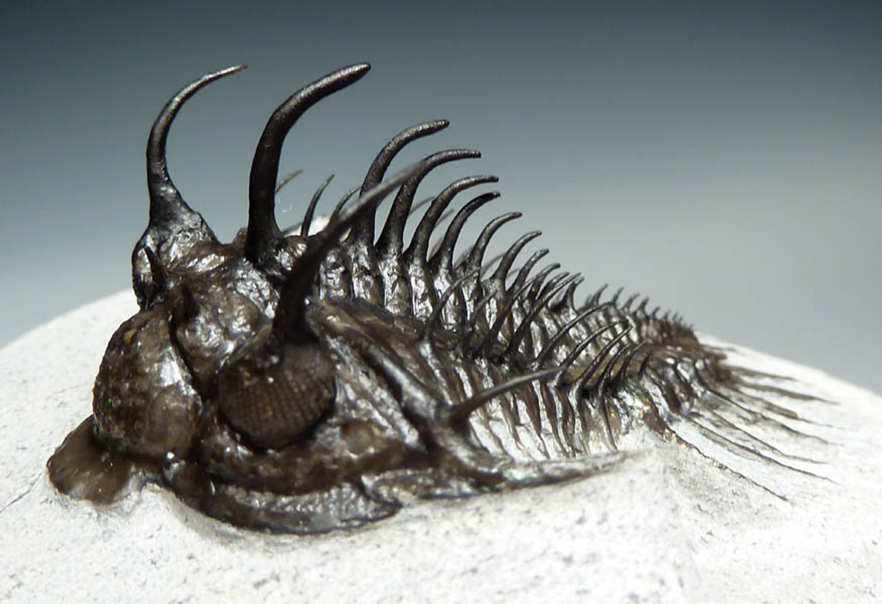 SPINY TRILOBITE FOR SALE