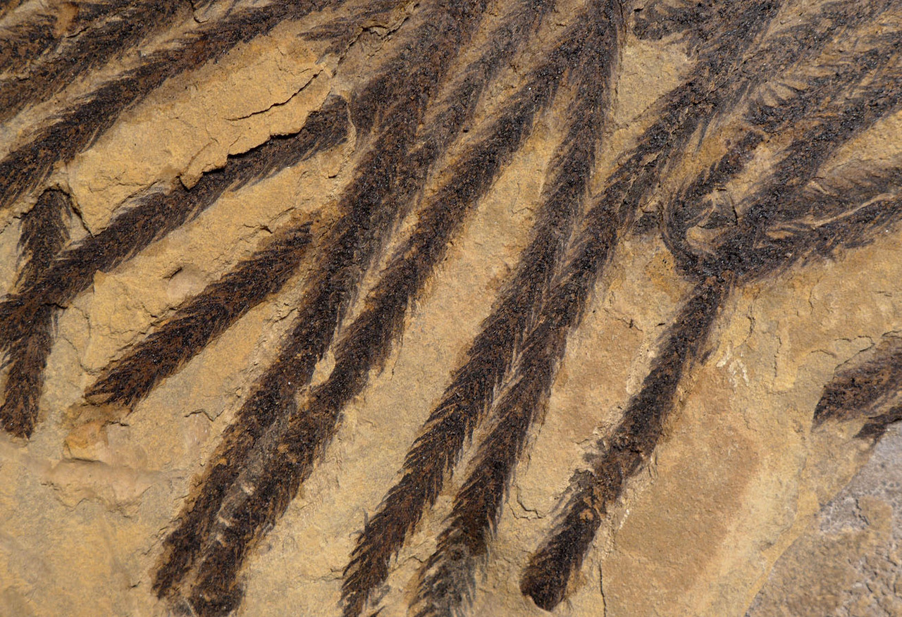 ULTRA-RARE LARGE PERMIAN WALCHIA PLANT FOSSIL BRANCH FROM GERMANY WITH COMPLETE PRESERVATION *PMPX002