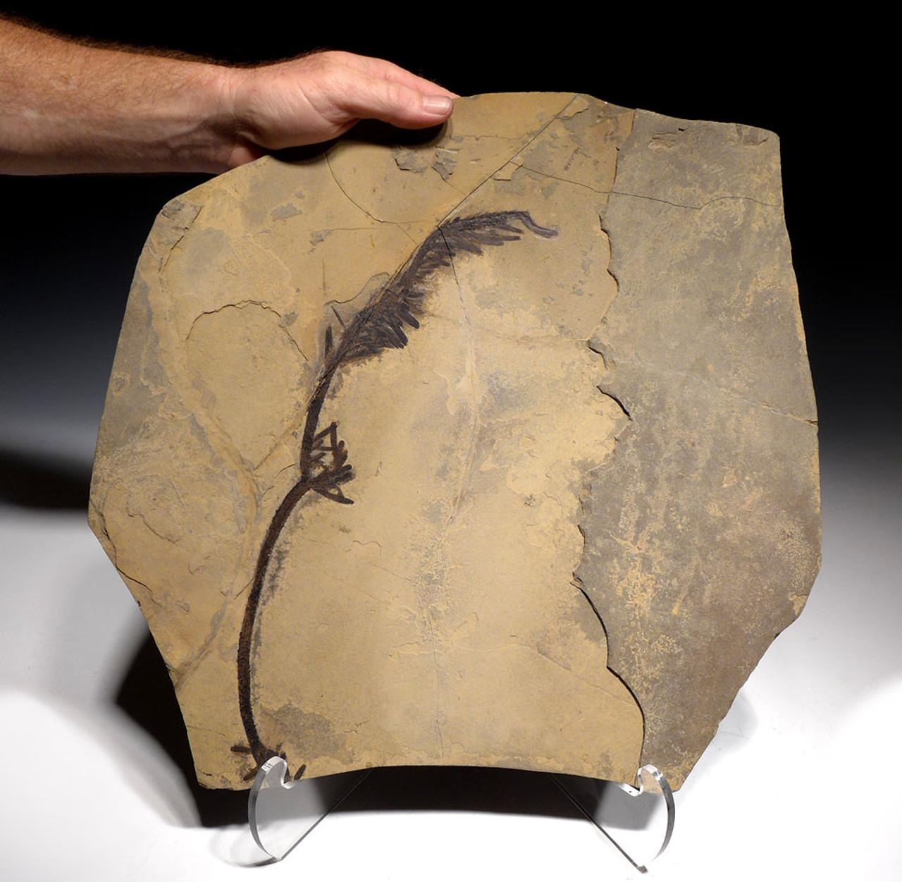 RARE LARGE PERMIAN CORDAITES PLANT FOSSIL BRANCH FROM GERMANY WITH COMPLETE PRESERVATION *PMPX001