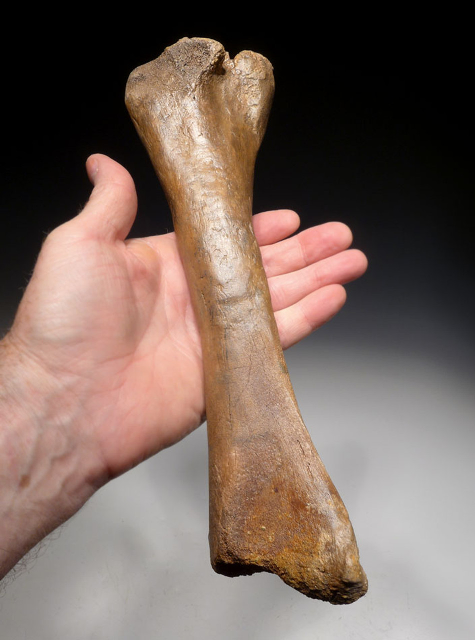 RARE PACHYCEPHALOSAURUS TIBIA FOSSIL DINOSAUR LEG BONE  *DBX040