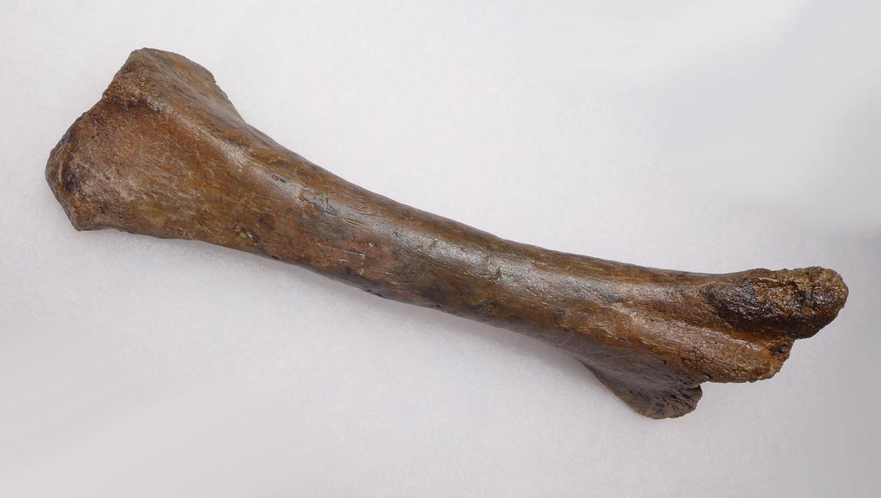 PACHYCEPHALOSAUR DINOSAUR FOSSIL TIBIA LEG BONE  *DBX042