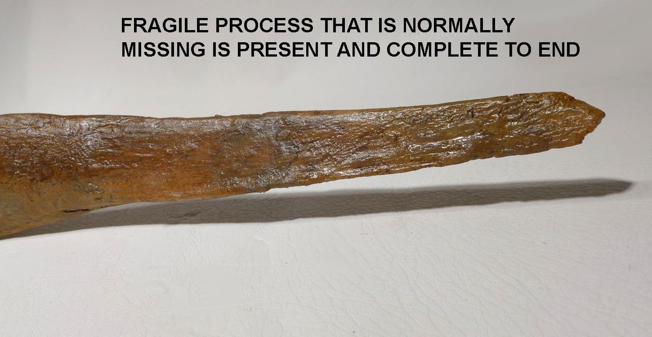 FINEST COMPLETE FOSSIL DINOSAUR PUBIS BONE FROM AN EDMONTOSAURUS HADROSAUR  *DBX035