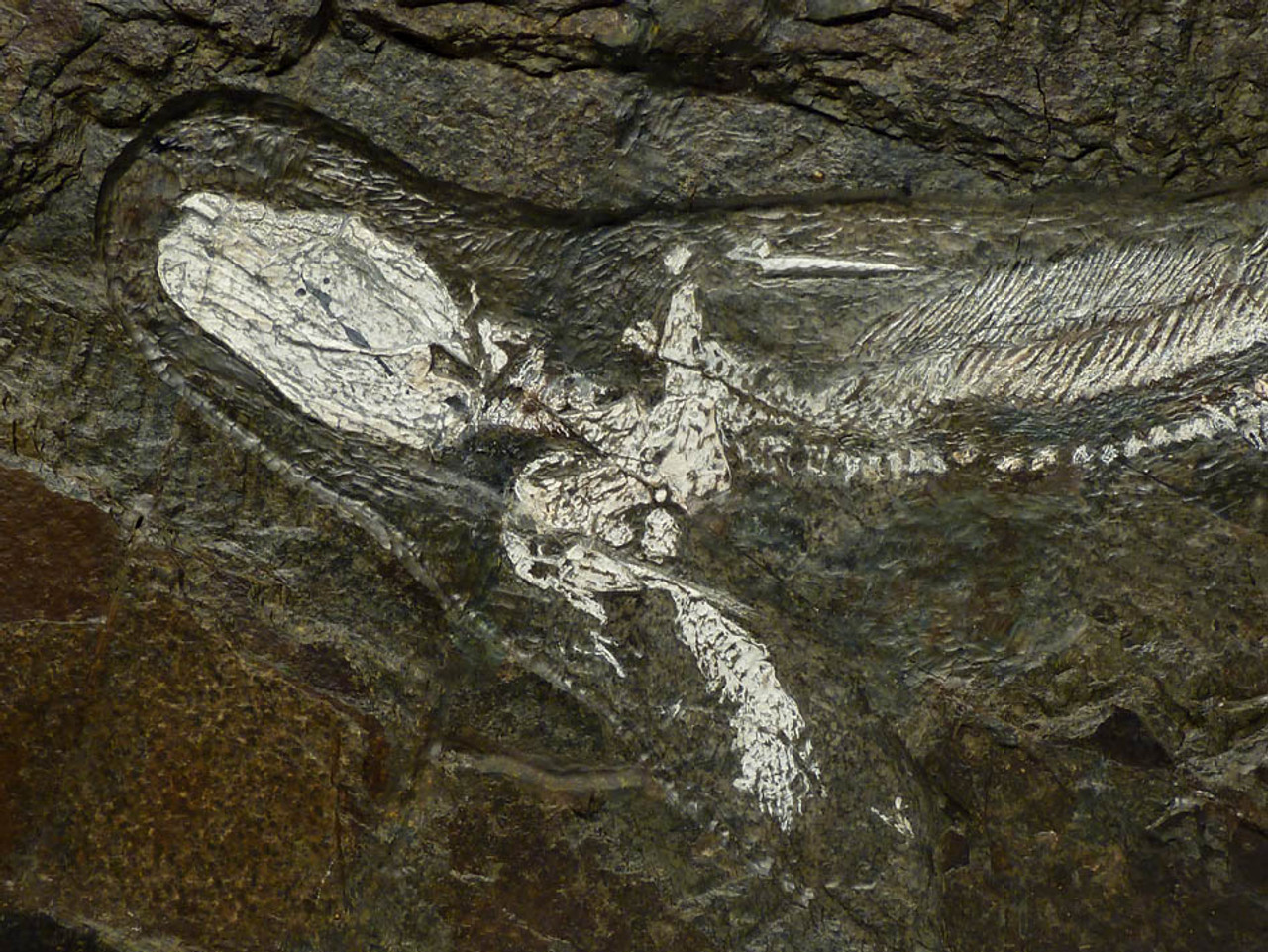 EXTREMELY RARE PREHISTORIC BABY ORTHACANTHUS PERMIAN SHARK FOSSIL IN RARE WHITE BONE PRESERVATION  *F103
