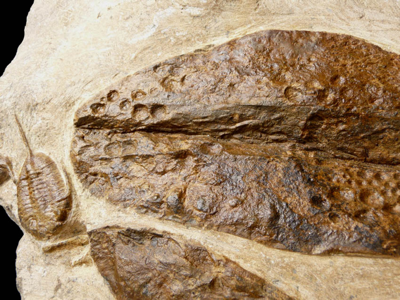 GIANT CONULARIIDA FOSSILS WITH SELENOPELTIS AND OTHER TRILOBITES ON LARGE ORDOVICIAN PREHISTORIC MARINE LIFE STONE  *CON001