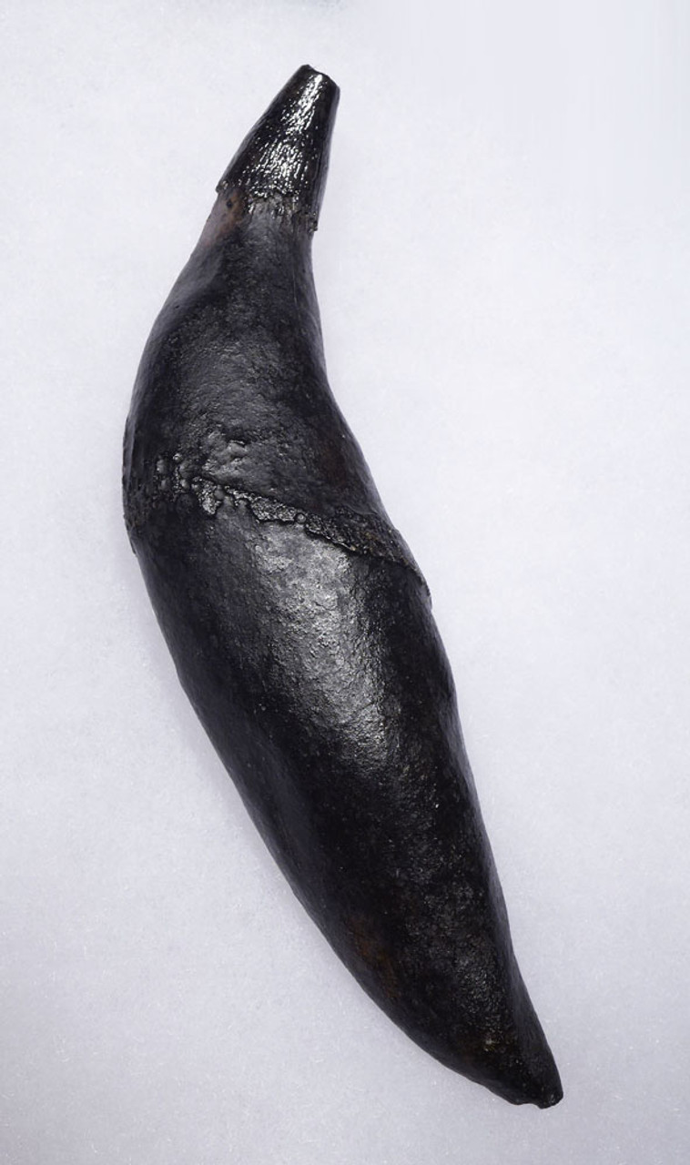 FINEST LARGE FOSSIL SPERM WHALE TOOTH WITH FULL PERFECT ROOT  *WH053
