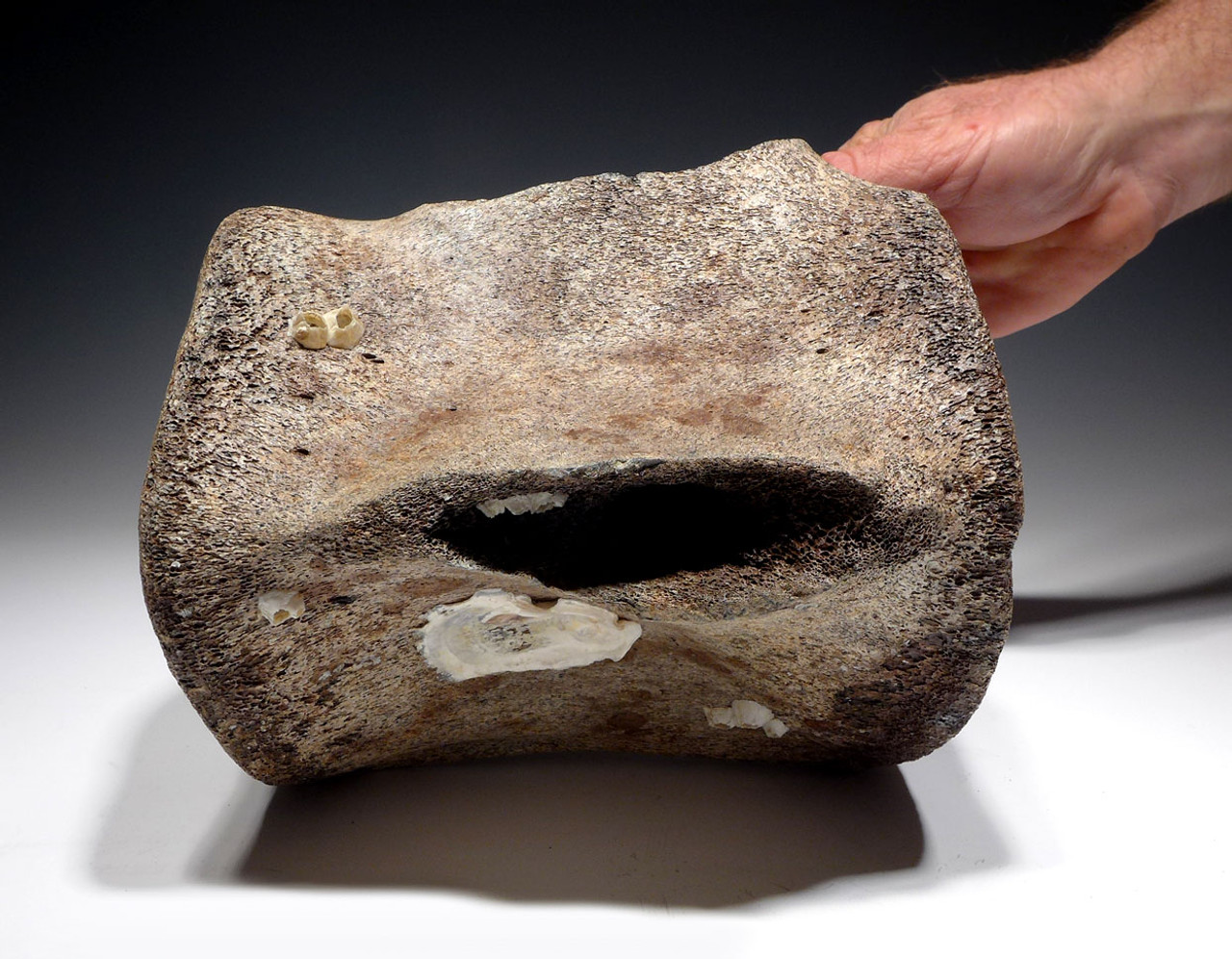 LARGE PREHISTORIC FOSSIL SPERM WHALE VERTEBRA WITH CHOICE PRESERVATION *WH036