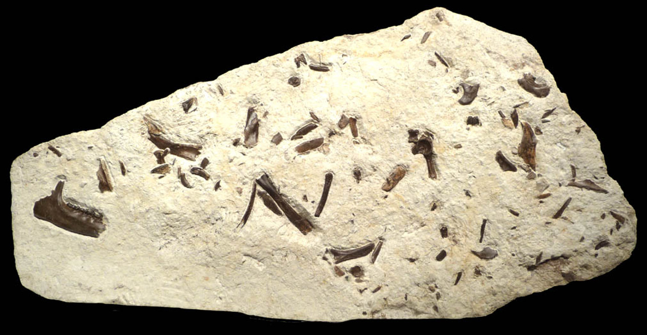 PRIMITIVE HORSE FOSSIL BONE BED FROM FRANCE OF A 48 MILLION YEAR PLAGIOLOPHUS THREE-TOED HORSE