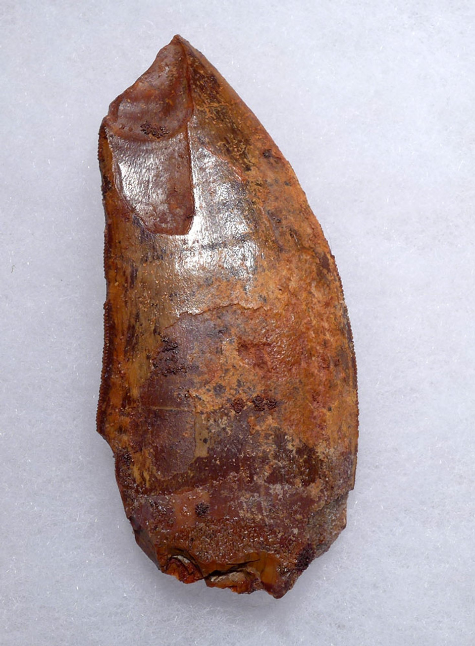 LARGE MEAT-EATING DINOSAUR TOOTH
