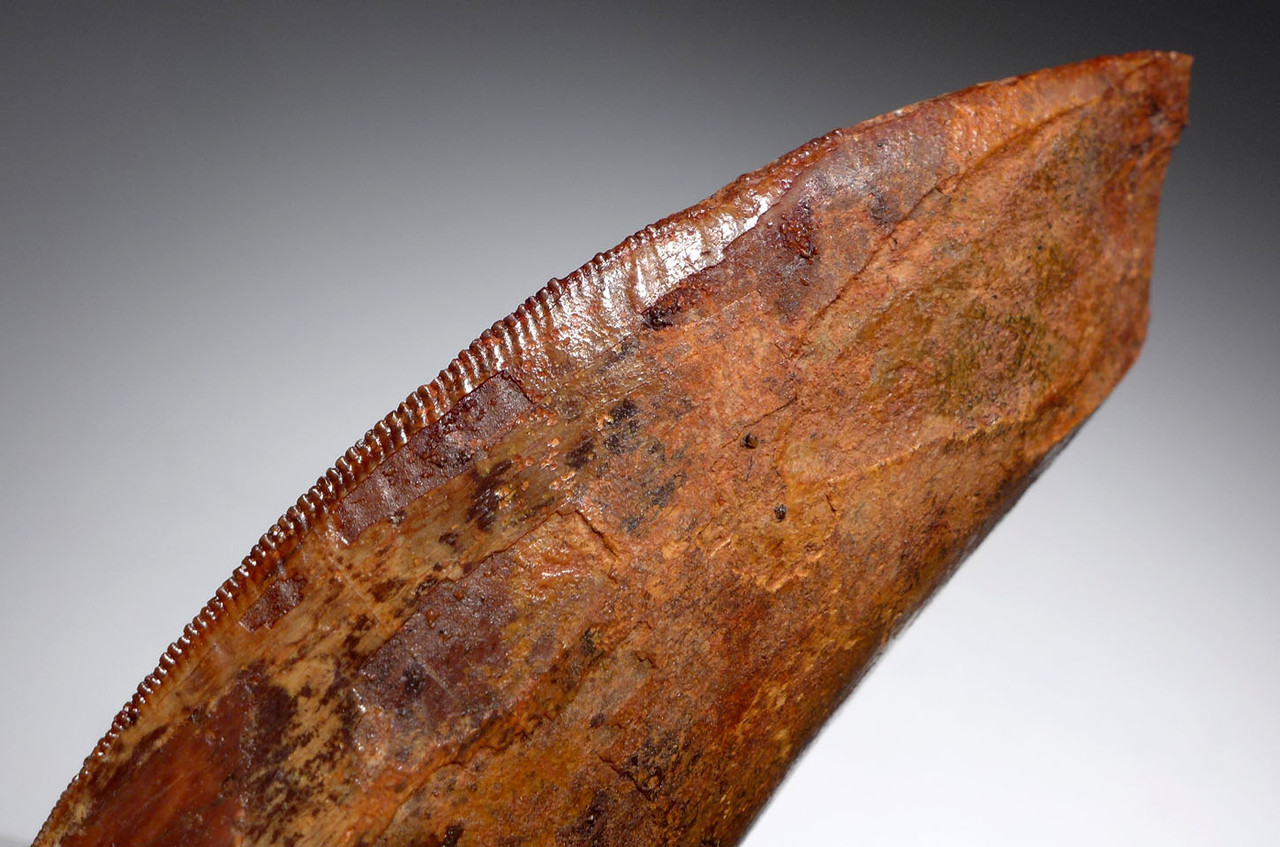 LARGE DINOSAUR TOOTH FOR SALE
