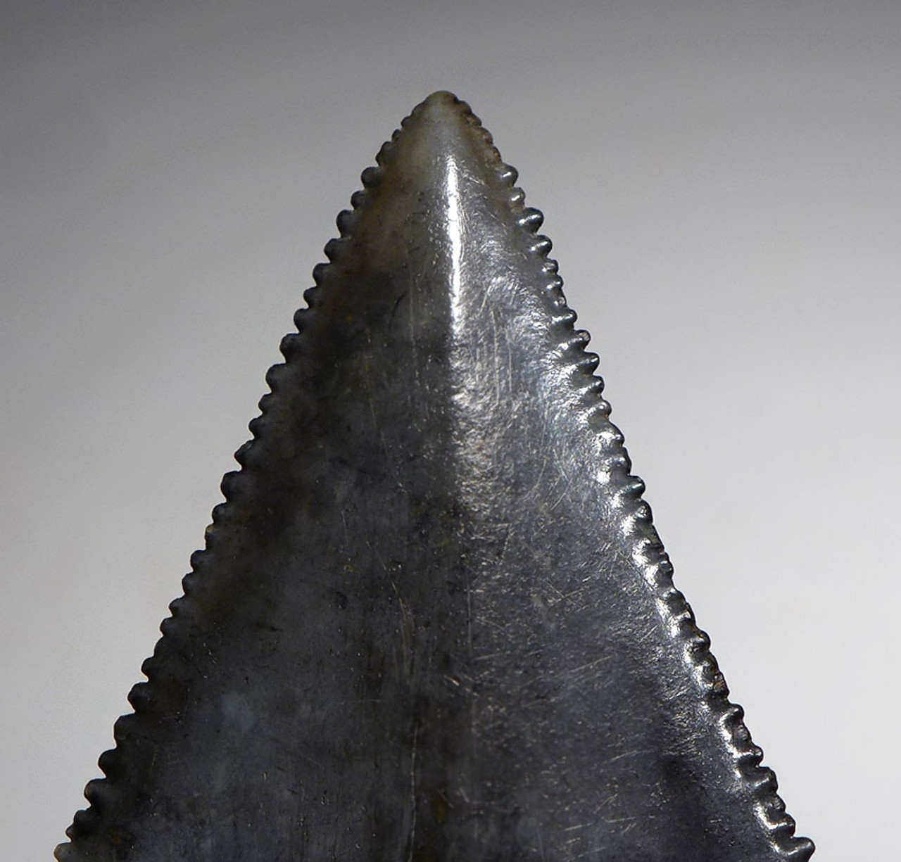 INVESTMENT GRADE 2.3 INCH LARGE FOSSIL GREAT WHITE SHARK TOOTH CARCHARIAS FROM NORTH AMERICA  *SHX075